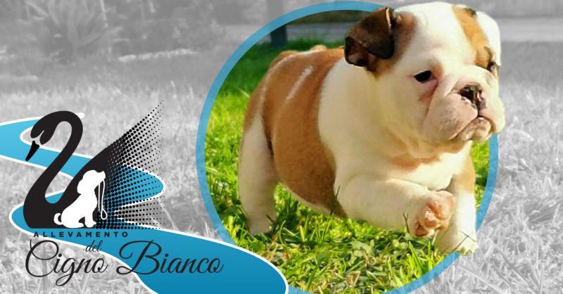 Offerta Cuccioli disponibili di Bulldog Inglese Lombardia - Occasione Allevamento Certificato ENCI Bulldog Inglesi
